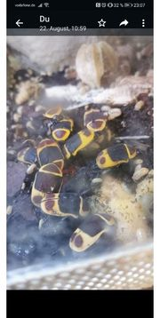 kongo rosenkäfer