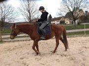 Reiterin sucht Pferd Pony