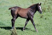 HENGSTFOHLEN PAINT HORSE