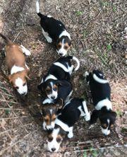 Reinrassig Beagle Welpen