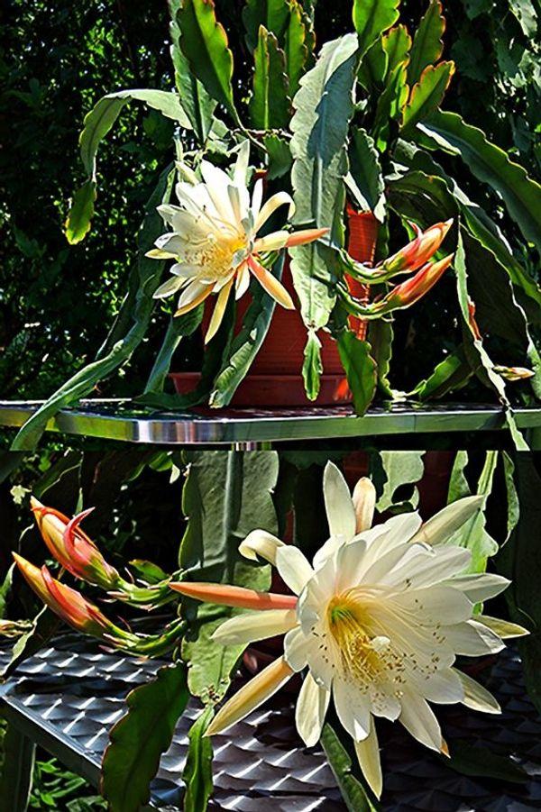 Kaktus Blattkaktus Epiphyllum Ableger