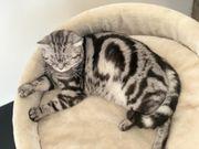 BKH Katze kitten Britisch kurzhaar