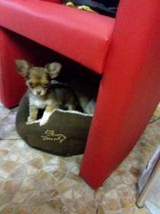 Besonderes wunderschönes Chihuahua Mädchen