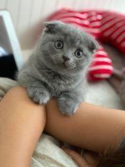BKH Kitten Junge in Blau
