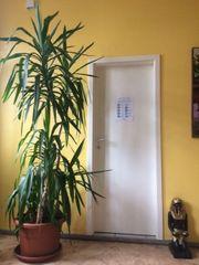 Yucca Zimmerpalme