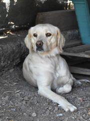 Duncan - Labrador - Mischling aus dem
