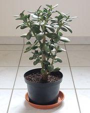 Geldbaum Pfennigbaum 32 cm Crassula