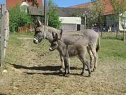 Esel zu verkaufen