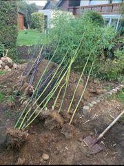 Bambus Schwarzrohr Frische Ernte Phyllostachys