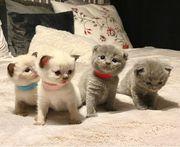 Wunderschöne BKH Fold Kitten zum