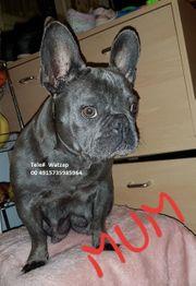Schöne Welpen der französischen Bulldogge