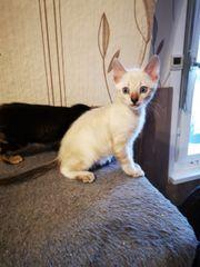 Reinrassige Bengal Kitten 10 W
