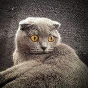 Scottish Fold Blue Katze