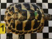 Griechische Landschildkröten aus eigener Zucht