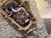 Leopardgeckos Zuchtaufgabe