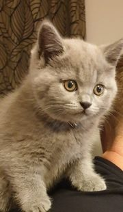 BKH Kätzchen in blau