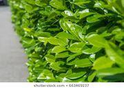 10 Stück Kirschlorbeer Novita -Pflanzen