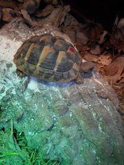 Grieche Landschildkröten von 2018