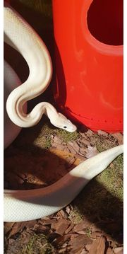 königspython inklusive terrarium