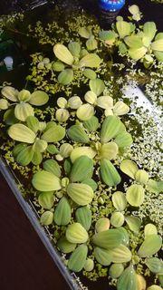 2 Muschelblume Wassersalat