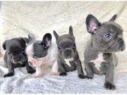 Französische Bulldogen Welpen mit Ahnentafel