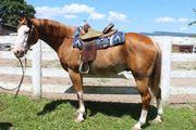 schönen Paint Horse Wallach mit