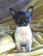 wundervolle Chihuahua-Welpen Kurz-u Langhaar