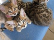 Bengal Brown Spotted Kitten
