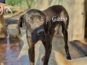 Neugierige und verspielte Dogge Gabo