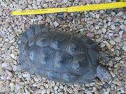 Breitrandschildkröte männlich 28 cm Panzerlänge -
