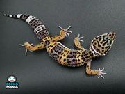 Leopardgecko Wildtyp Weibchen NZ 2021
