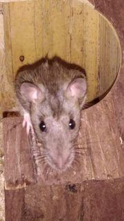 3 Rattenmädels abzugeben