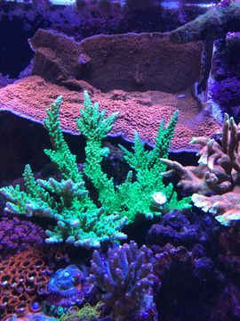 Bild 4 - Euphyllia Anemone goniopora Meerwasser Korallen - Bischofsheim