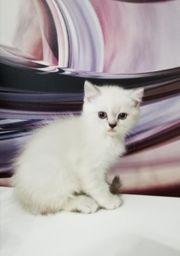 reinrassige Bkh Kater Katzen kitten