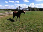 QUARTER HORSE WALLACH