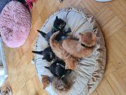 Maine Coon Norweger Kitten
