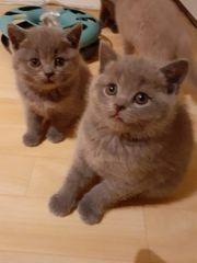 Bkh Kitten Sofort abhol bereit