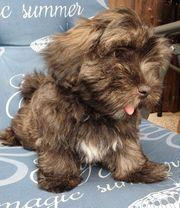 Havaneser In Wetzlar Hunde Kaufen Verkaufen Auf Quokade