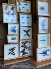 Insekten Schaukasten Schmetterlinge Käfer
