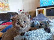 3 reinrassige BKH Kitten - blue -