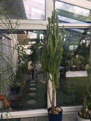 Kaktus Euphorbie