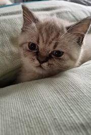 Bkh Kitten Abgabe sofort