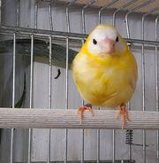 Prachtfinken Dreifarbige Papageiamadine Henne Lutino