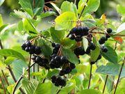 Aronia - Pflanzen