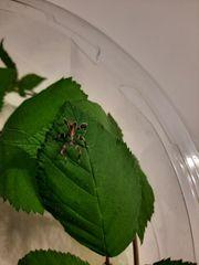 Wandelndes Blatt Nymphen Jungtiere - Phyllium