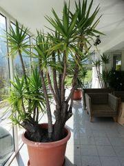 Yucca Palme - 3 m hoch