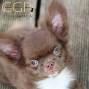 Selten schöner und typvoller Chihuahua