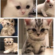 4 BKH Kitten noch zu