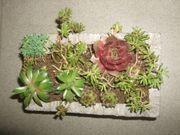Dachwurz Hauswurz und Steingartenbepflanzung in