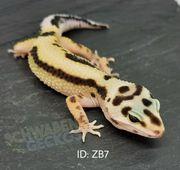 Leopardgeckos Black Night Cross Zorro